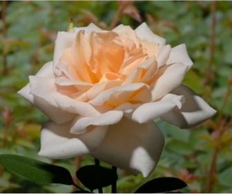Роза плетистая Гранд Могул
