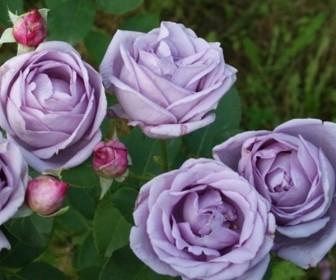 Роза плетистая Индиголетта