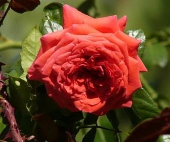 Роза плетистая Май Таур