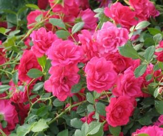 Роза почвопокровная Роди