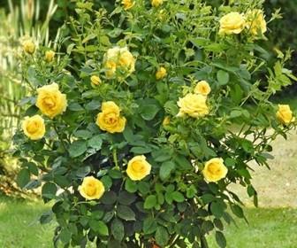 Роза штамбовая Голден Медальон
