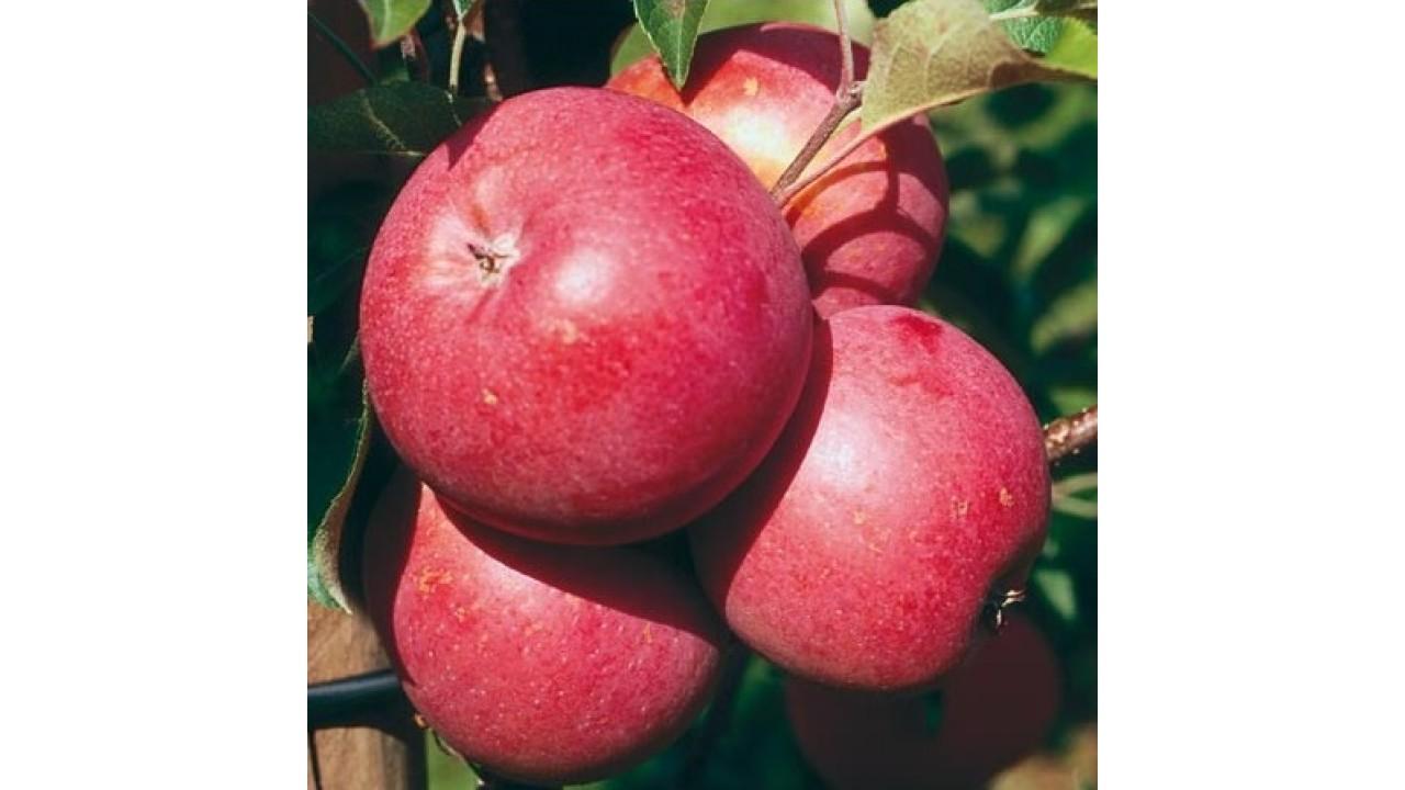 Яблоки бени шогун