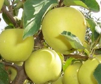 Яблоня Голден Делишес клон Б