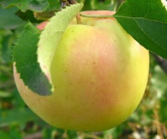 Яблоня Голден Резистент