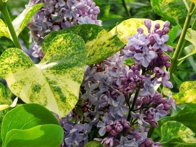 Сирень Аукубафолия (Aucubaefolia)