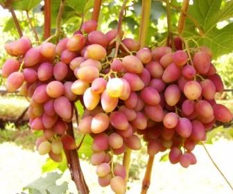 Виноград Юбилей херсонского дачника2