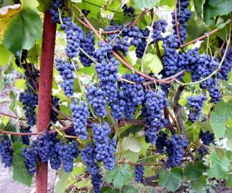 Виноград Кудерка