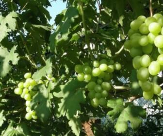 Виноград Соверинг Тиара